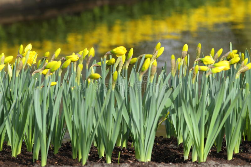 Narcissus Yellow-Narzissen lizenzfreie stockfotografie