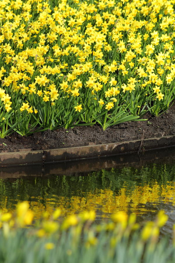Narcissus Yellow-Narzissen stockfoto