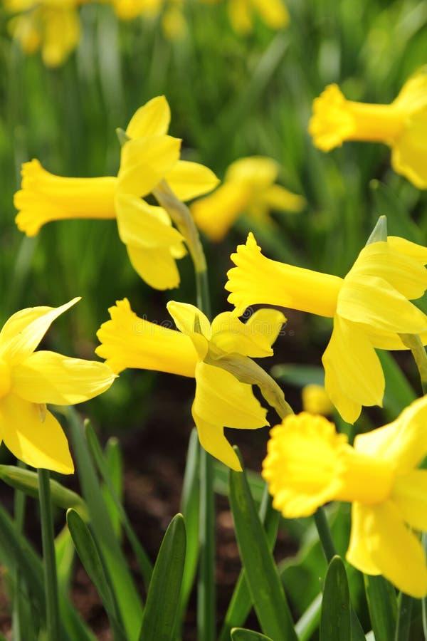 Narcissus Yellow-Narzissen stockfotos