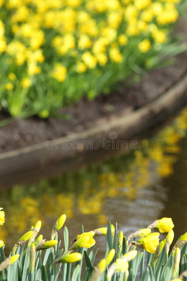 Narcissus Yellow påskliljor arkivfoton