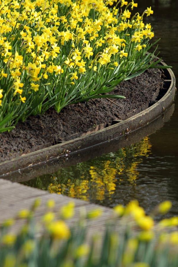 Narcissus Yellow påskliljor fotografering för bildbyråer