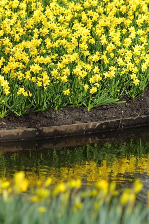 Narcissus Yellow påskliljor arkivfoto