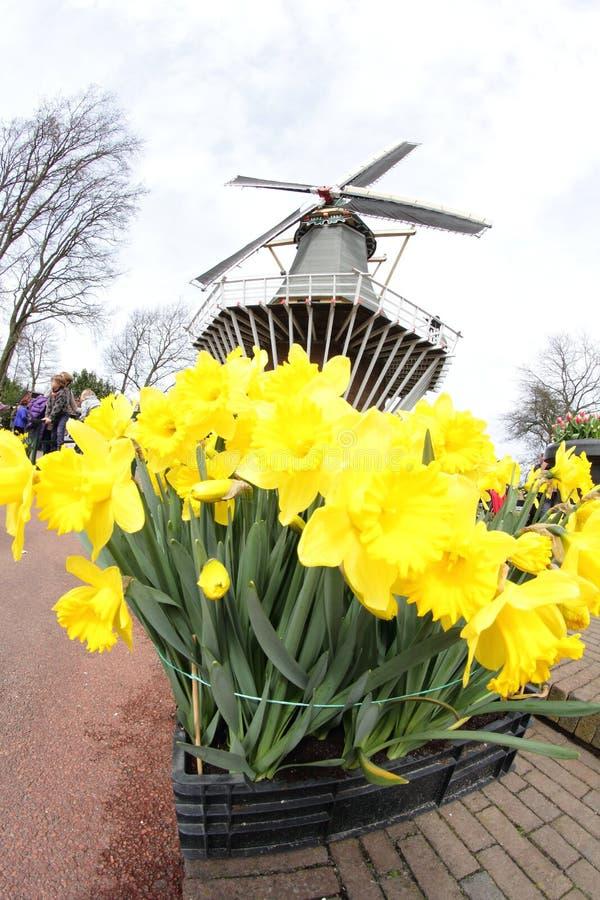 Narcissus Yellow påskliljor med väderkvarnen, Keukenhof Amsterdam royaltyfria foton