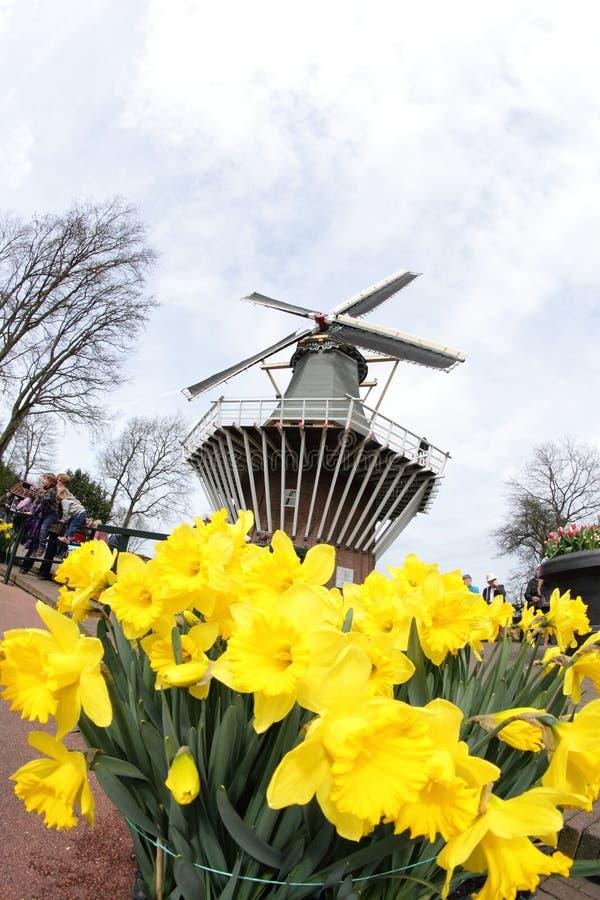 Narcissus Yellow påskliljor med väderkvarnen, Keukenhof Amsterdam arkivfoton