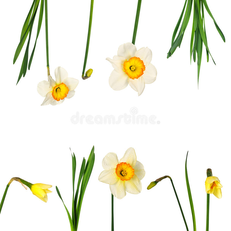 Narcissuses. Set isolated on white background. Contain different elements, with can be ungrouped stock images
