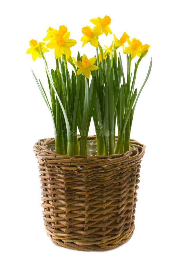 Narcissuses stock afbeeldingen