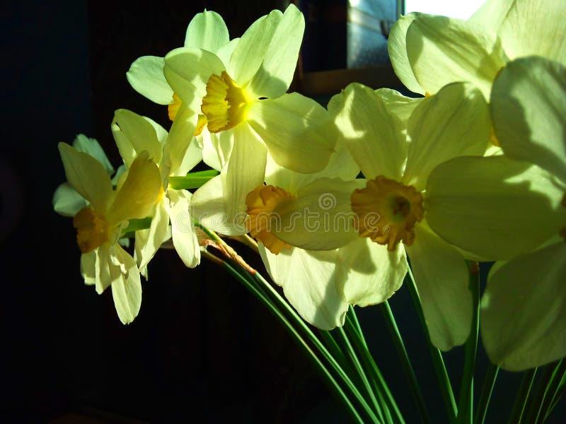 Narcissuses amarillos en la sol de la primavera imágenes de archivo libres de regalías