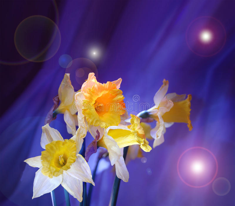 Narcissuses e stelle royalty illustrazione gratis