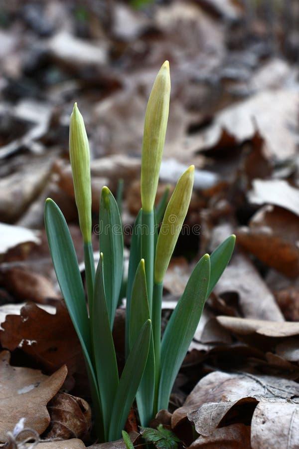 Narcissuses prima di sbocciare immagine stock