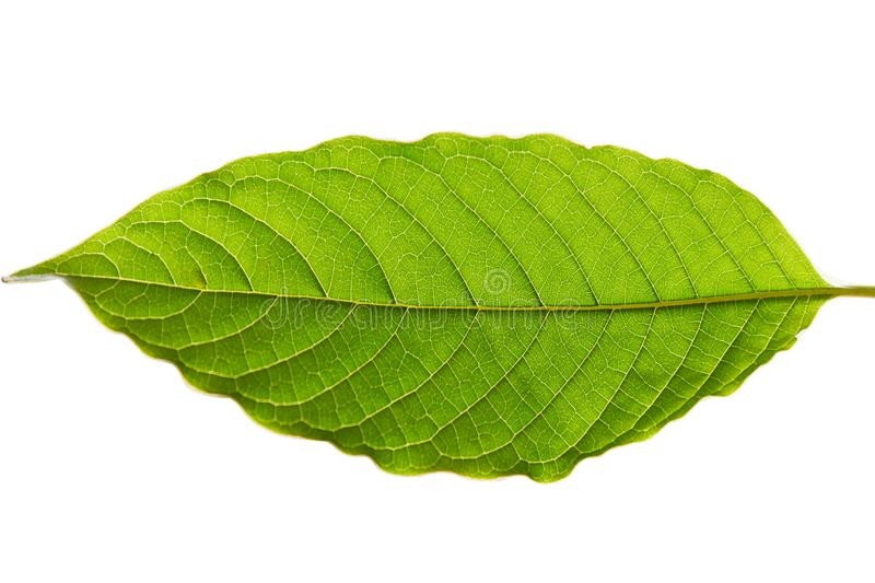 Narcotic from nature, Mitragyna speciosa korth & x28;kratom& x29; a drug f stock photo