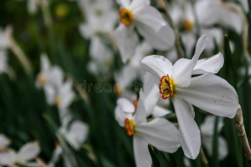 Narcyz grupa na ogródzie, daffodil kwiat w wiosna czasie zdjęcia royalty free