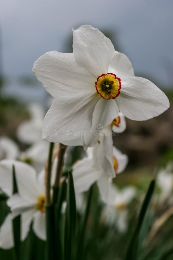Narcyz grupa na ogródzie, daffodil kwiat w wiosna czasie obraz royalty free