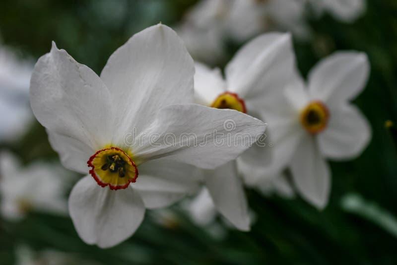 Narcyz grupa na ogródzie, daffodil kwiat w wiosna czasie zdjęcie stock