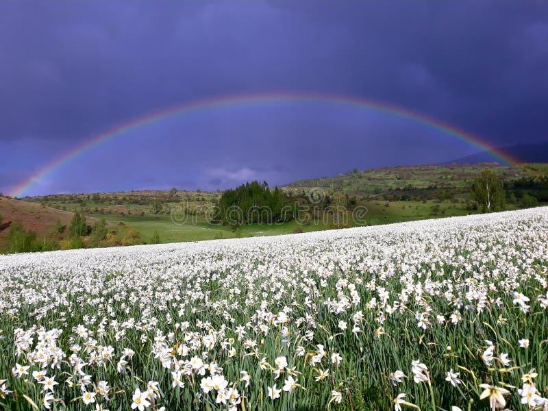 Narcyz wiosny kwiaty obrazy stock