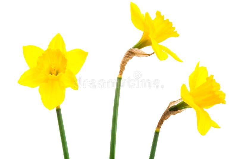 narcyza kolor żółty fotografia royalty free