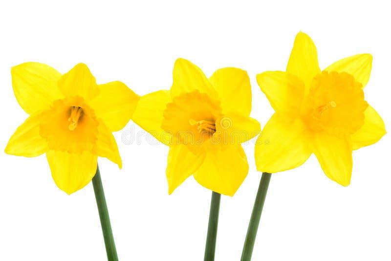 narcyza kolor żółty trzy obraz royalty free