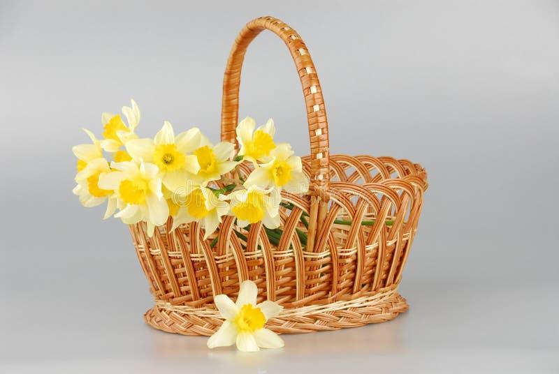 Narcyza kosz, Easter, wiosna narcyza kwiatu żółte kobiety lub matka dzień, zdjęcia stock