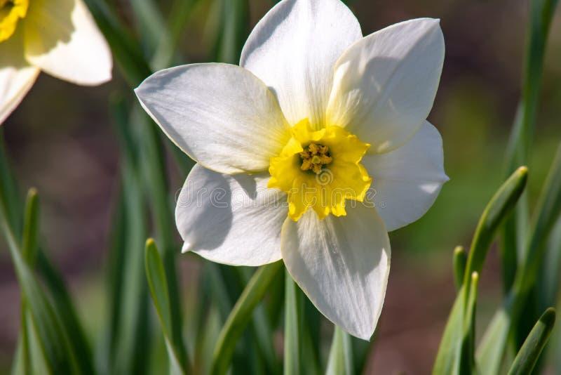 Narcyza kwiat - Piękni wiosna kwiaty Wiosna przychodził i wszystkie natura kwitnął przypuszczenia katedralna dmitrov Kremlin Mosc obrazy royalty free