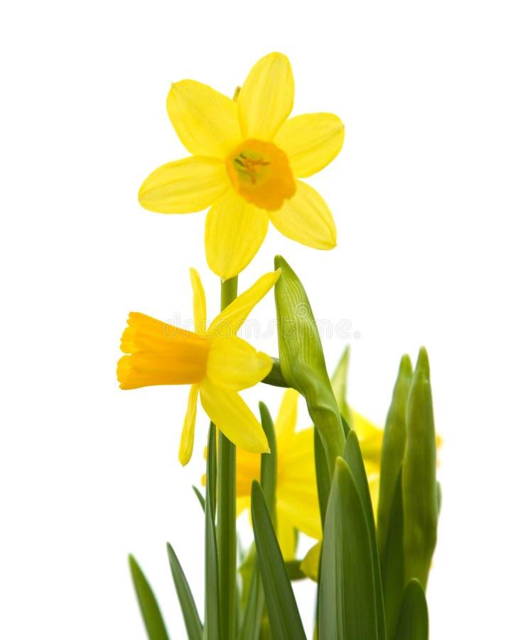 narcyza mini kolor żółty obraz royalty free