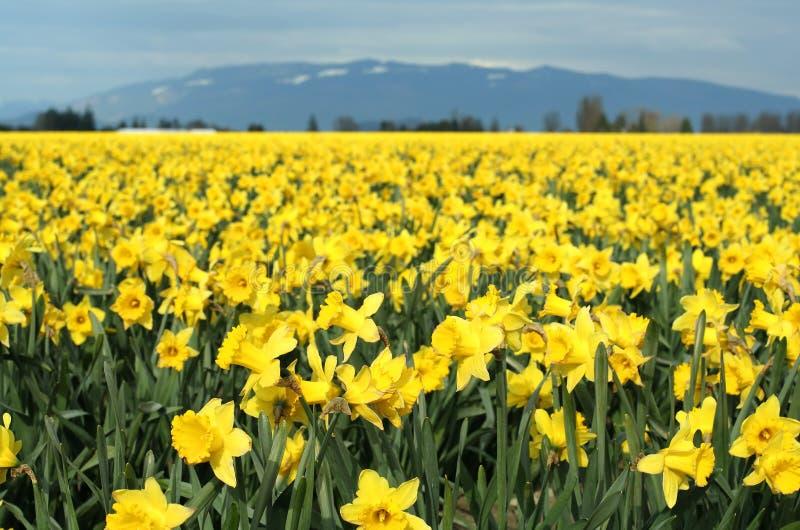 narcyzy żółte obraz stock