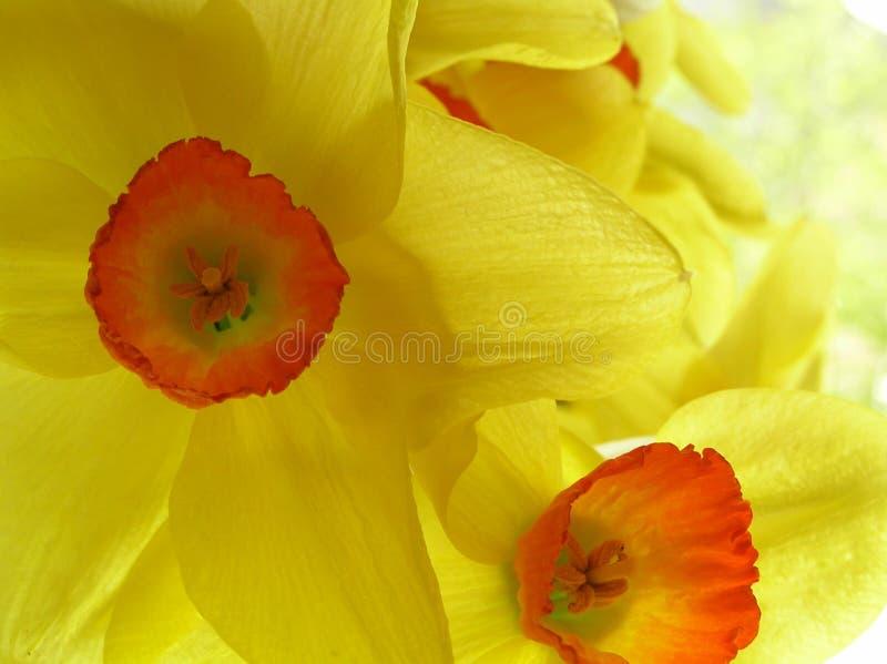 narcyzy żółte zdjęcie stock