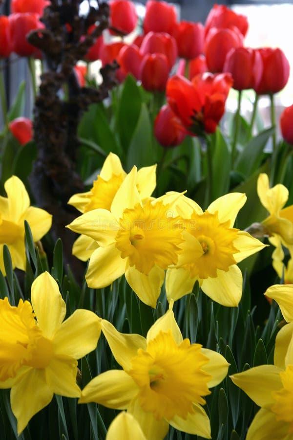 narcyzy czerwone tulipany żółte obraz stock
