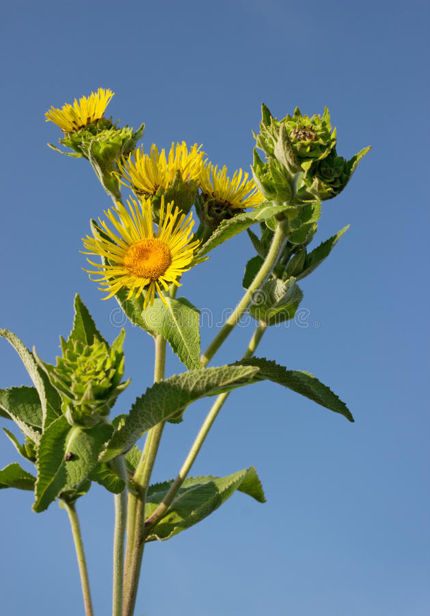 Nard floreciente contra el cielo azul imagen de archivo