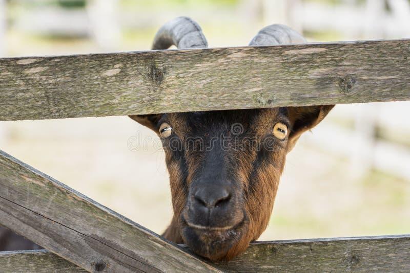 Nariz da vara da cabra através da cerca fotos de stock royalty free