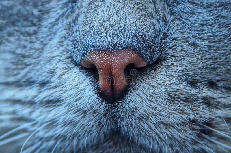 Nariz de Brown en la cara gris de un gato grande imágenes de archivo libres de regalías