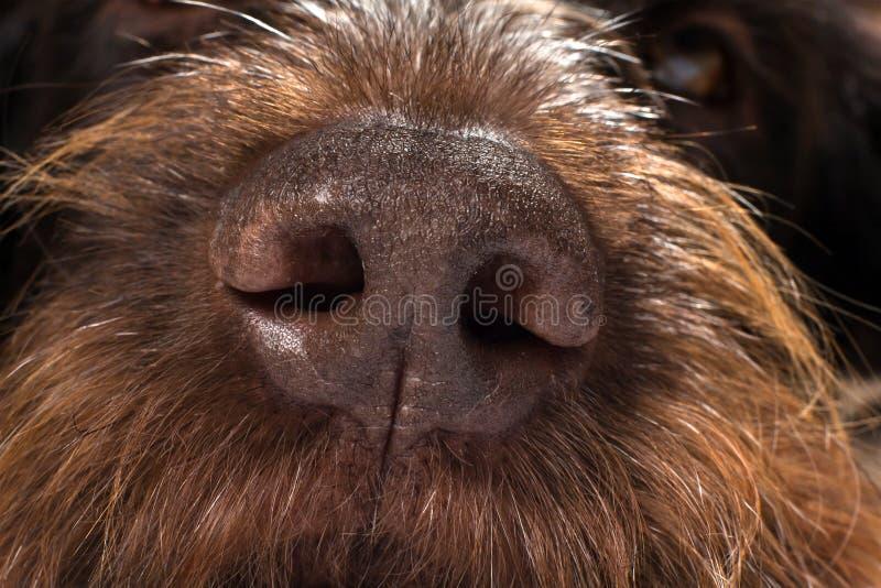 Nariz de cão áspero de Brown imagens de stock royalty free