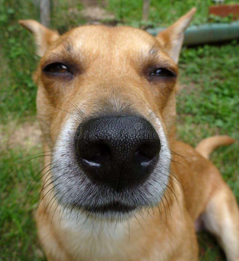 Nariz de cão imagens de stock