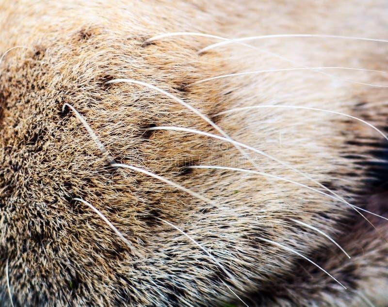 Nariz de c?o com close up do cabelo foto de stock