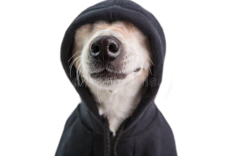 Nariz de perro adorable en sudadera con capucha negra Cara divertida del animal doméstico Estilo positivo del gángster del cutie  fotos de archivo libres de regalías
