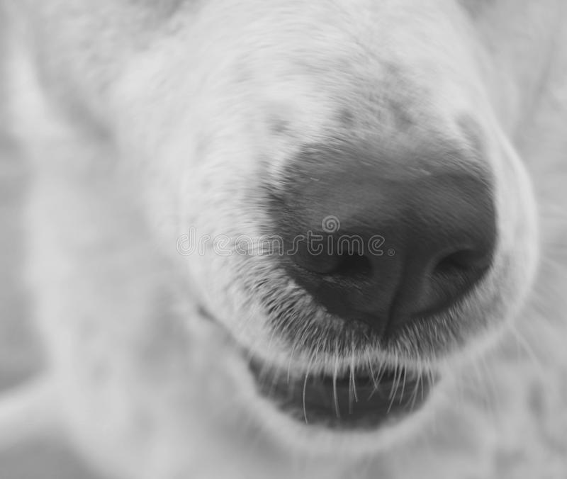 Nariz de perro blanca fotografía de archivo