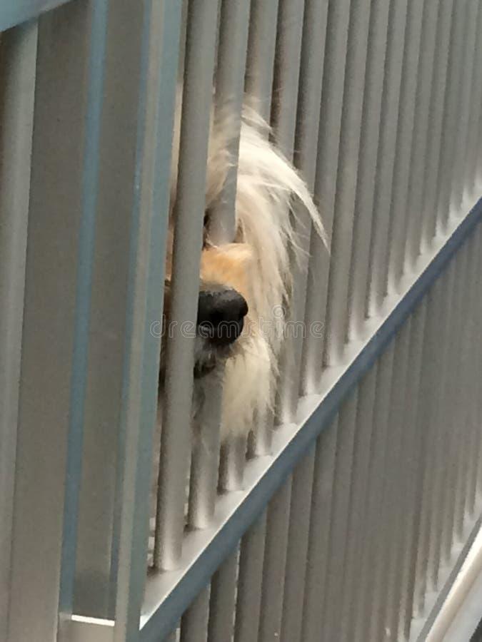Nariz de perro lanudo detrás del colmillo marrón triste de las barras en la adopción del refugio del perro de la cárcel del perro fotos de archivo libres de regalías