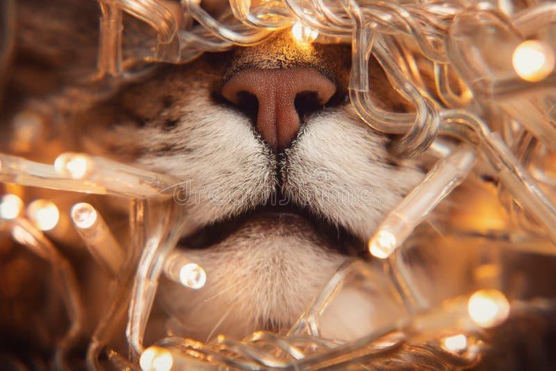 Nariz de tabby gato marrón de mármol con Navidad amarillo claro fotos de archivo libres de regalías