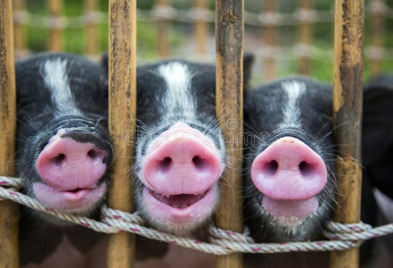 Nariz del cerdo blanco y negro del bebé foto de archivo