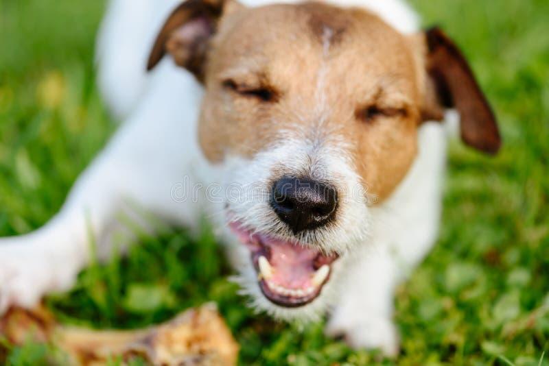 Nariz do cão feliz que come o osso grande fotos de stock royalty free