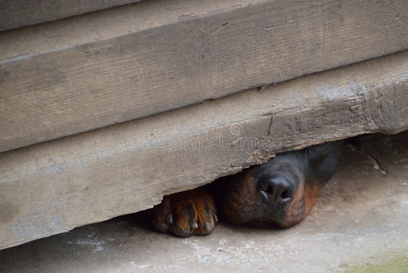 Nariz e pata do cão curioso imagens de stock royalty free