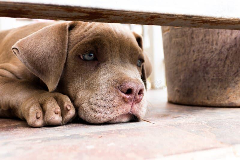 Nariz mojada del perro del terrier de pitbull del perrito foto de archivo libre de regalías