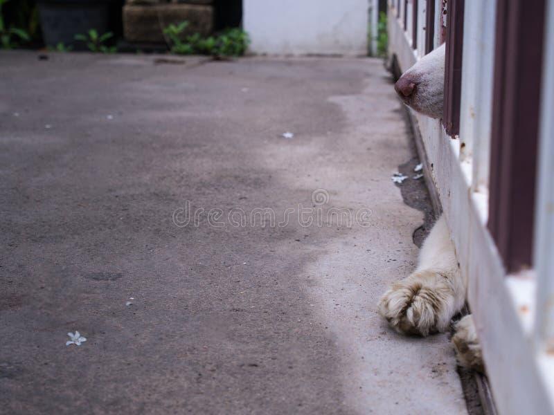 Nariz y piernas del siberiano Husky Outside fotografía de archivo libre de regalías