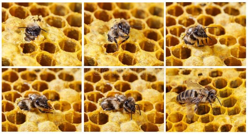 Narodziny pszczoły obrazy royalty free