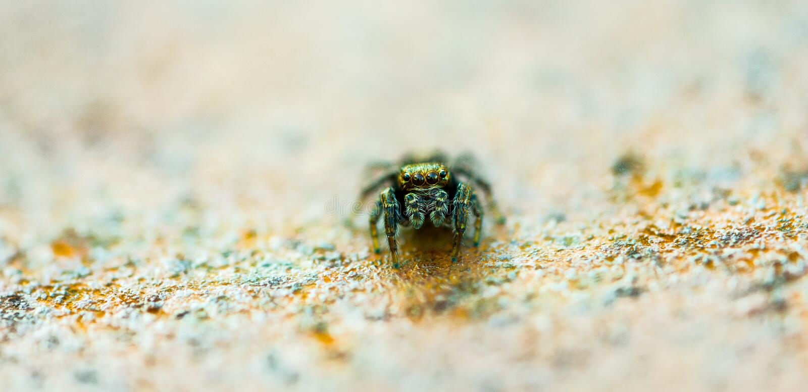 Slim Spider royalty free stock image