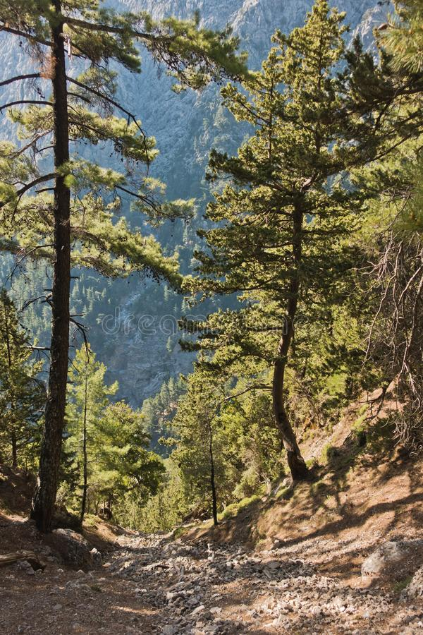 Narrow downhill pine forest path through Samaria gorge, south west part of Crete island. Greece royalty free stock image