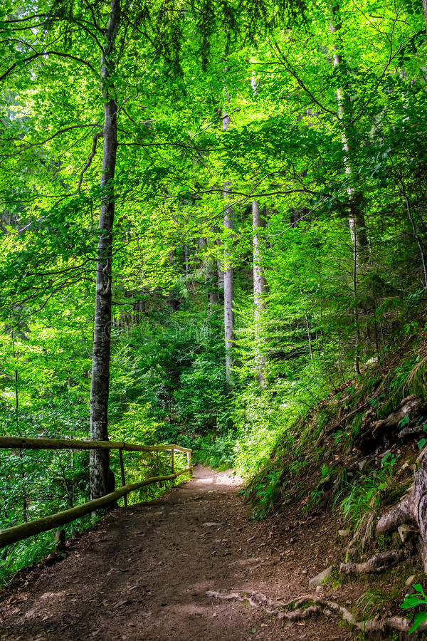 Narrow forest path with small wooden fence and sprouted roots royalty free stock image