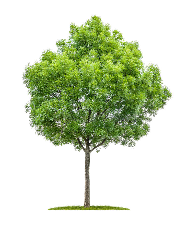 Narrow-leafed ash tree on a white background. Isolated narrow-leafed ash tree on a white background stock image