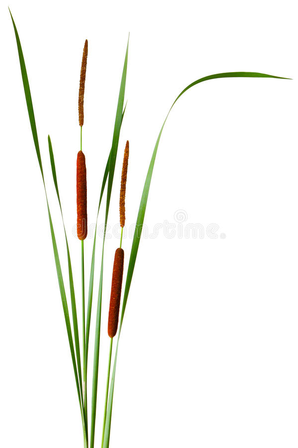Free Narrow-leaved Cattail Royalty Free Stock Photography - 15582837