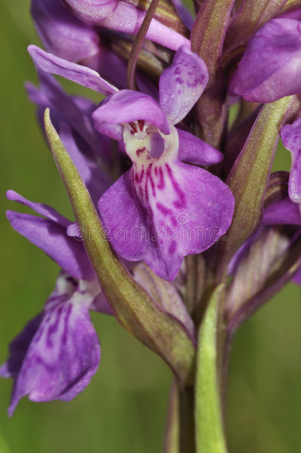 Download Narrow-leaved Marsh Orchid stock image. Image of leaved - 23100729