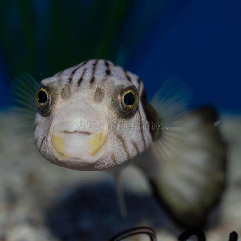Narrow-Lined Puffer fish. The Narrow-Lined Puffer captures the essence of the specialized nature of puffers. Classic and elegant in design, the Narrow-Lined royalty free stock photo