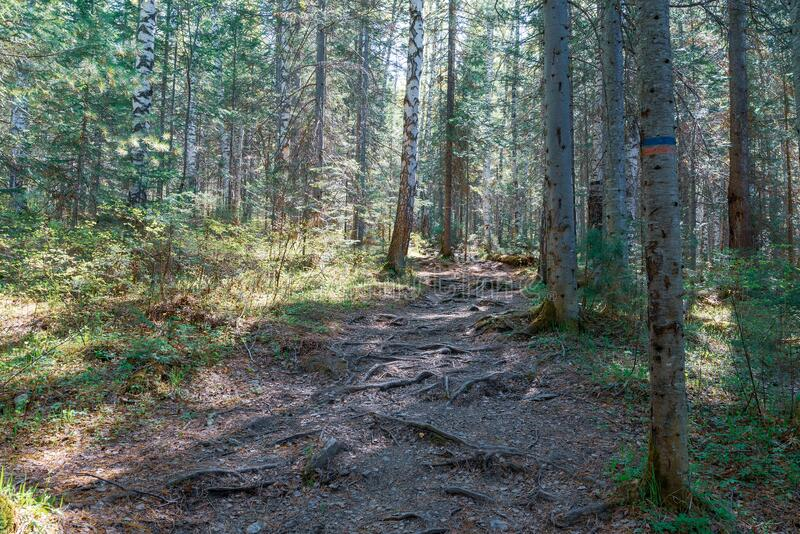Narrow mountain trail passing through the forest stock photography
